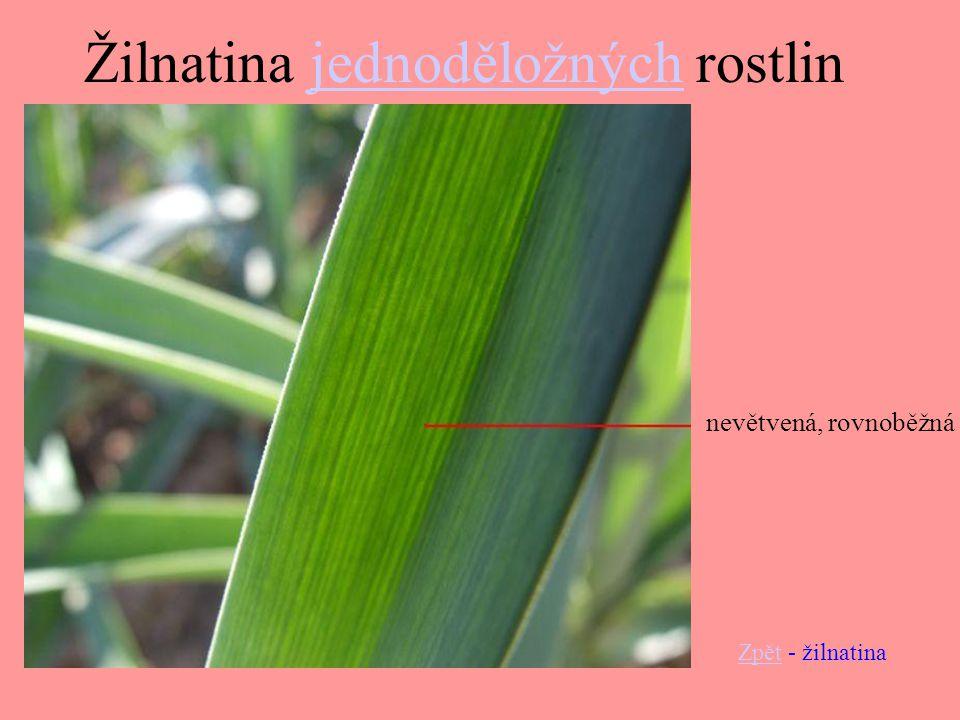 Žilnatina jednoděložných rostlin