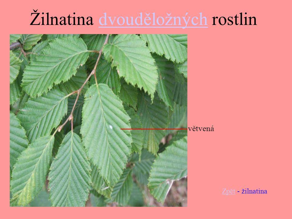 Žilnatina dvouděložných rostlin