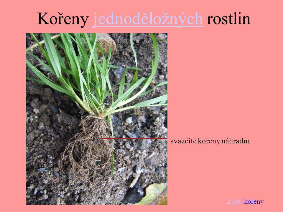 Kořeny jednoděložných rostlin
