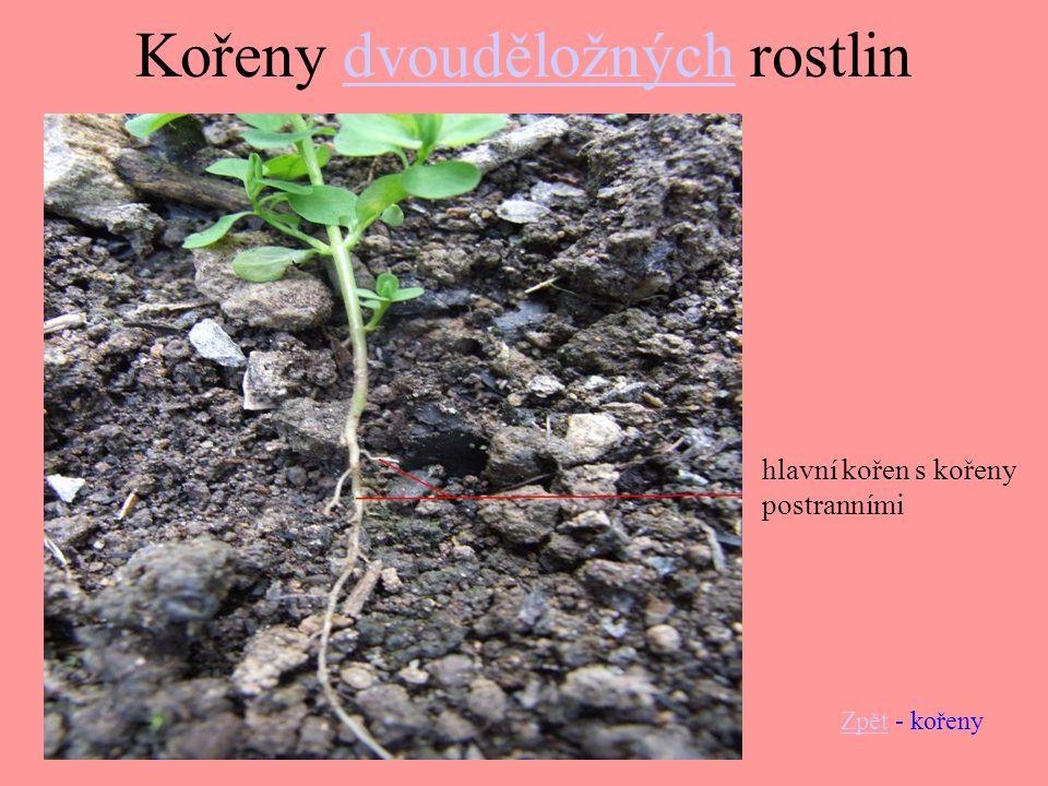 Kořeny dvouděložných rostlin
