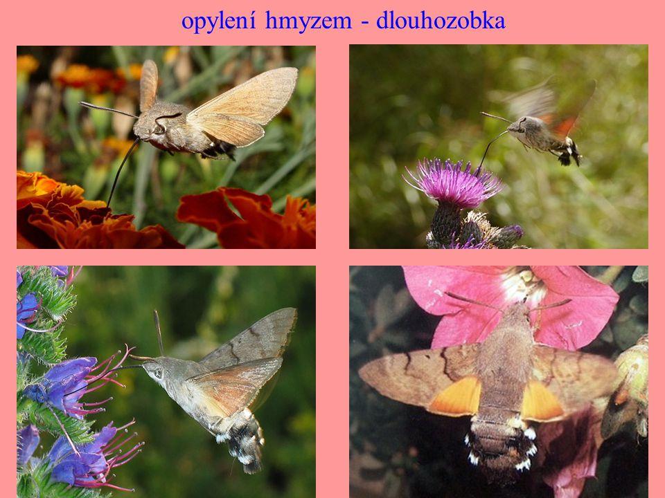 opylení hmyzem - dlouhozobka
