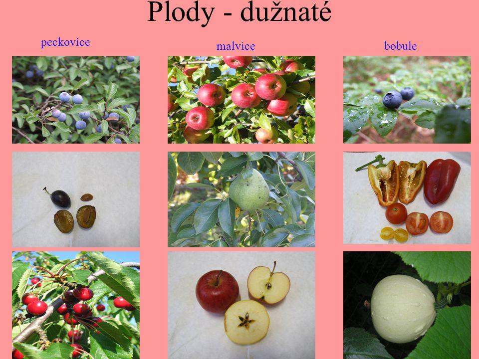 Plody - dužnaté peckovice malvice bobule
