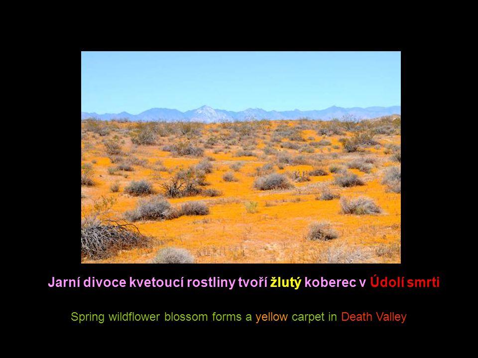 Jarní divoce kvetoucí rostliny tvoří žlutý koberec v Údolí smrti