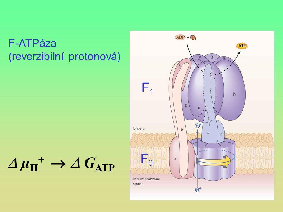 F-ATPáza (reverzibilní protonová) F1  µH+   GATP F0
