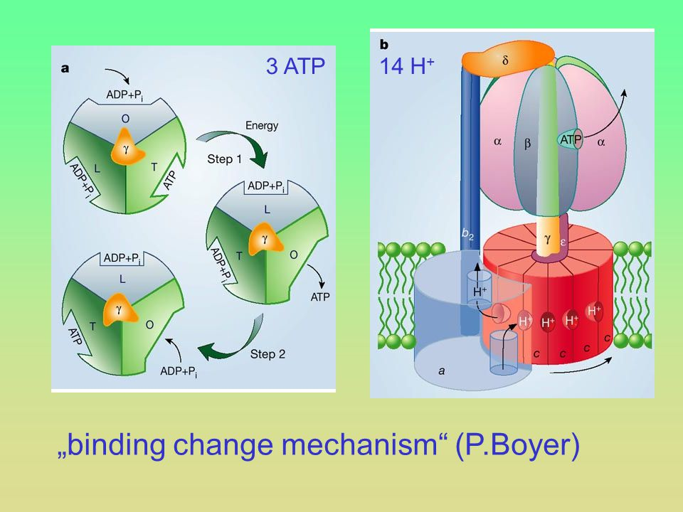 """binding change mechanism (P.Boyer)"