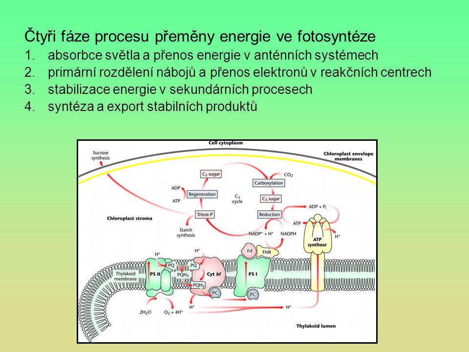 Čtyři fáze procesu přeměny energie ve fotosyntéze