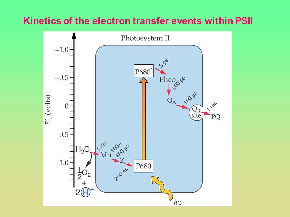 Kinetics of the electron transfer events within PSII