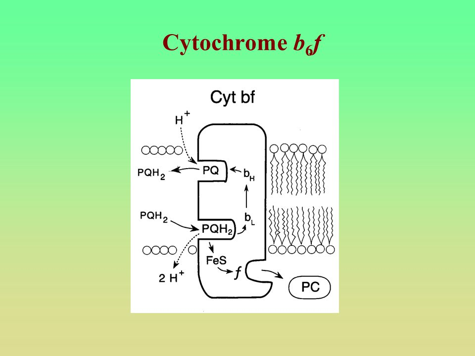 Cytochrome b6f