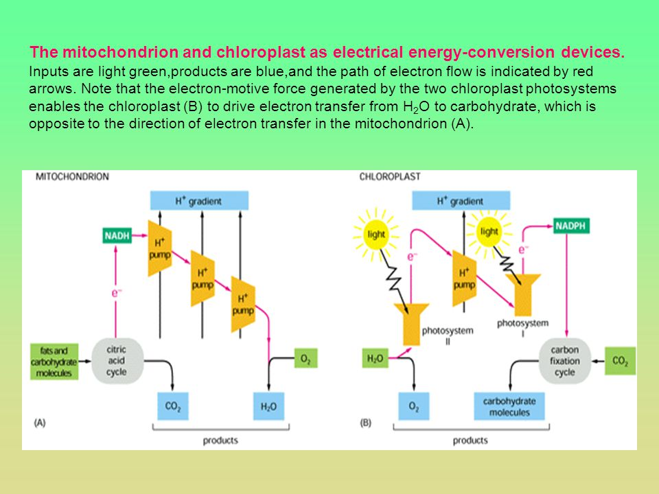 The mitochondrion and chloroplast as electrical energy-conversion devices.