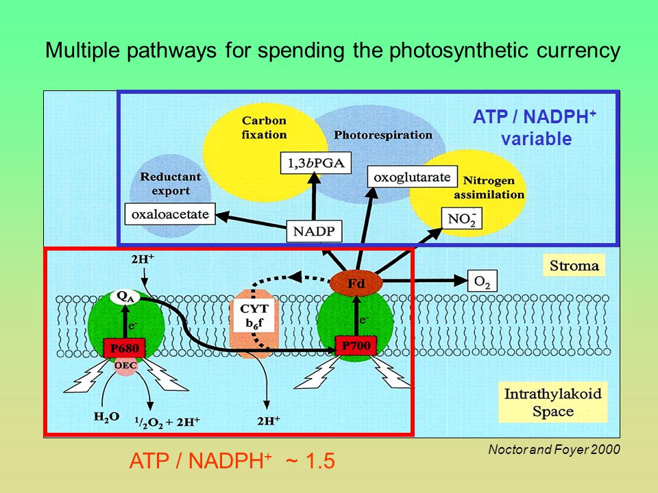 Multiple pathways for spending the photosynthetic currency