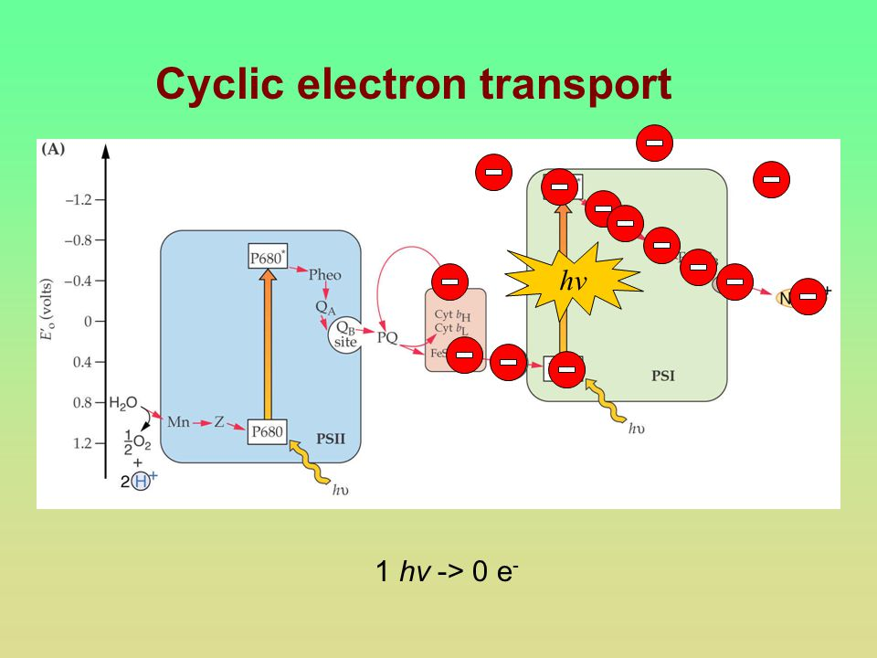 Cyclic electron transport