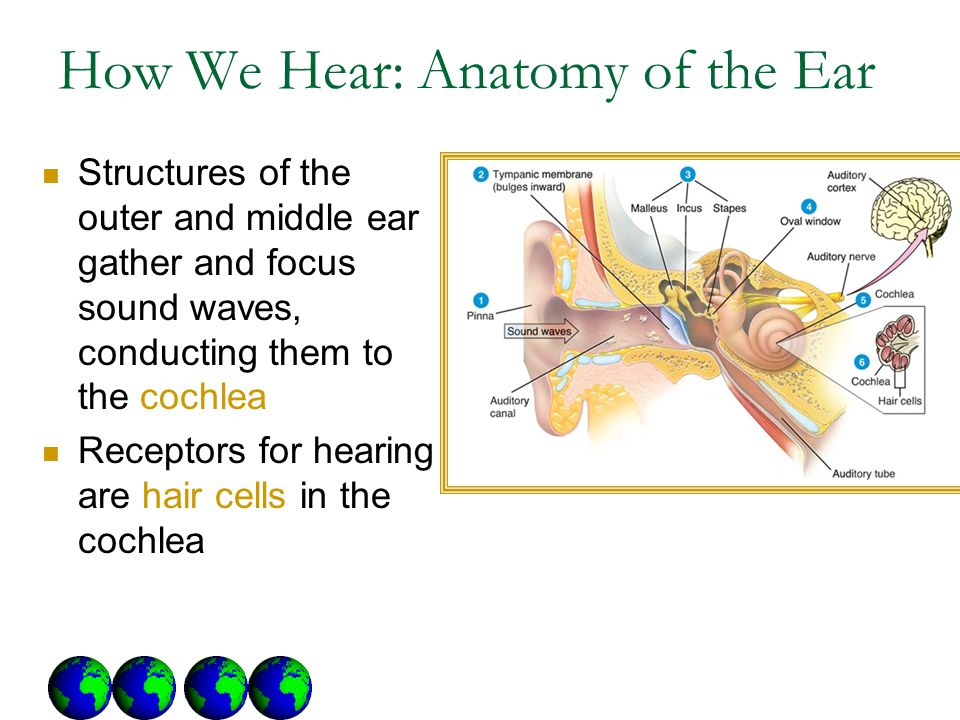 How We Hear: Anatomy of the Ear