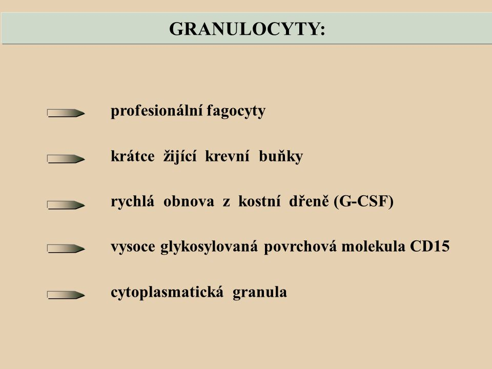 GRANULOCYTY: profesionální fagocyty krátce žijící krevní buňky