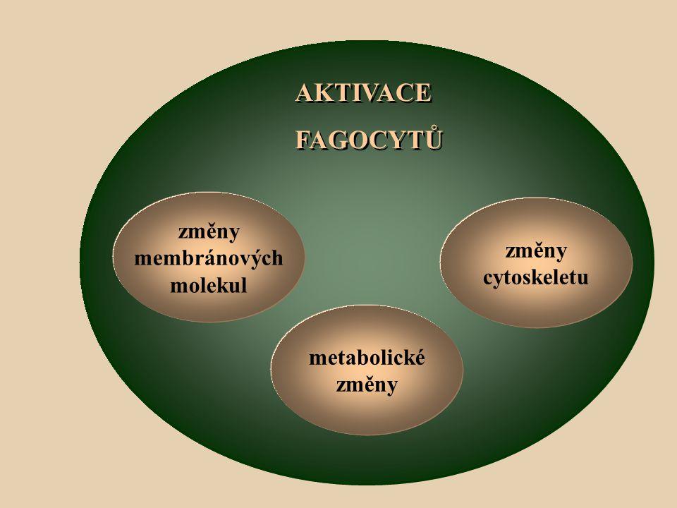 AKTIVACE FAGOCYTŮ metabolické změny membránových molekul cytoskeletu