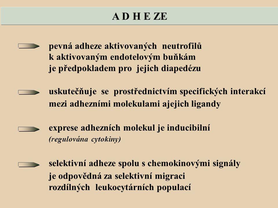 A D H E ZE pevná adheze aktivovaných neutrofilů