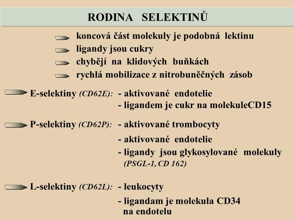 RODINA SELEKTINŮ koncová část molekuly je podobná lektinu