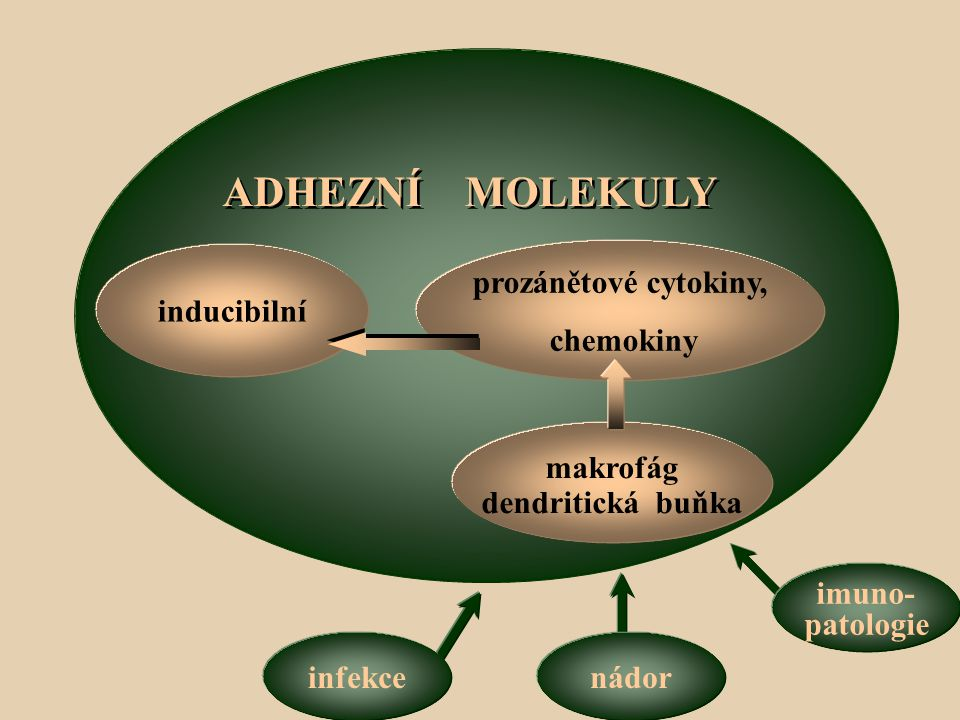 ADHEZNÍ MOLEKULY inducibilní prozánětové cytokiny, chemokiny makrofág