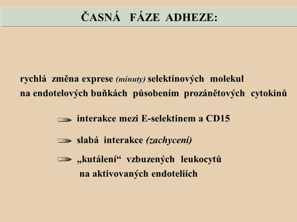 ČASNÁ FÁZE ADHEZE: rychlá změna exprese (minuty) selektinových molekul