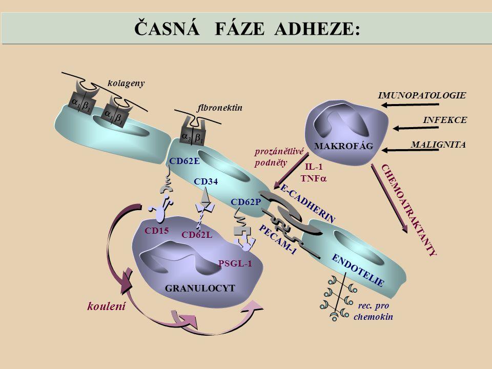 ČASNÁ FÁZE ADHEZE: koulení kolageny IMUNOPATOLOGIE fibronektin a1 b1