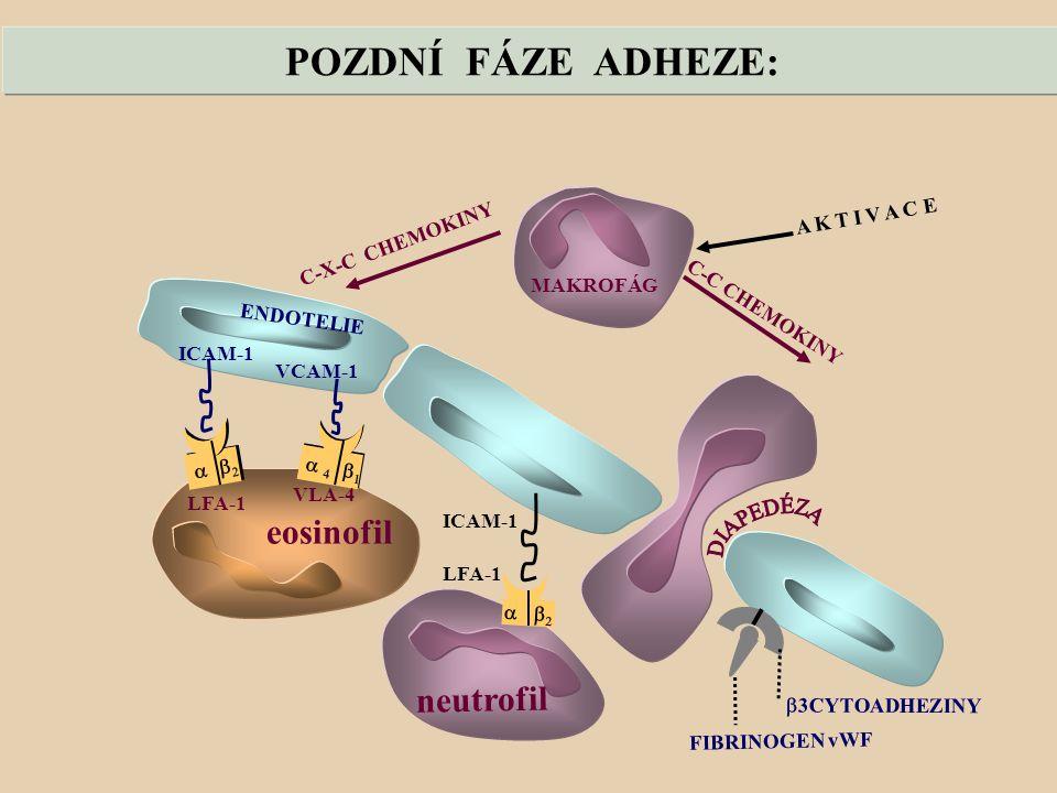 POZDNÍ FÁZE ADHEZE: eosinofil neutrofil A K T I V A C E