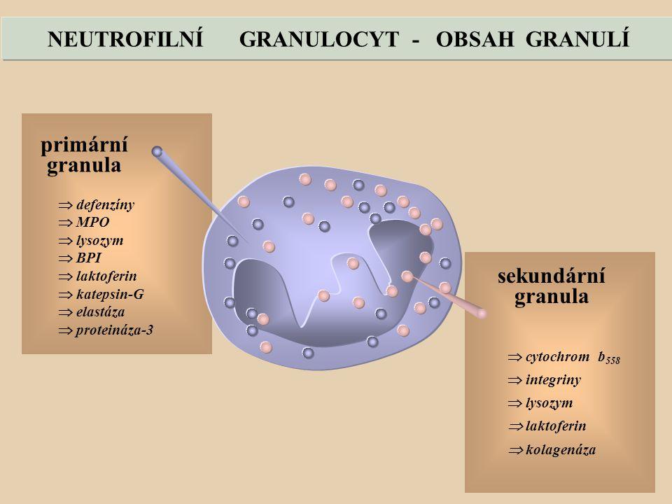 NEUTROFILNÍ GRANULOCYT - OBSAH GRANULÍ
