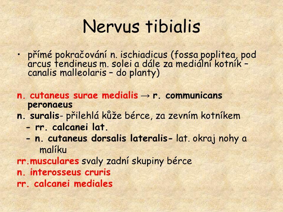 Nervus tibialis