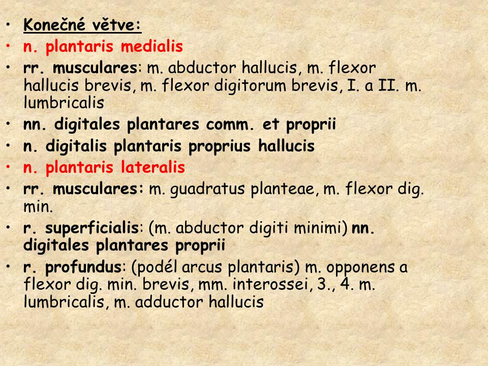 Konečné větve: n. plantaris medialis.