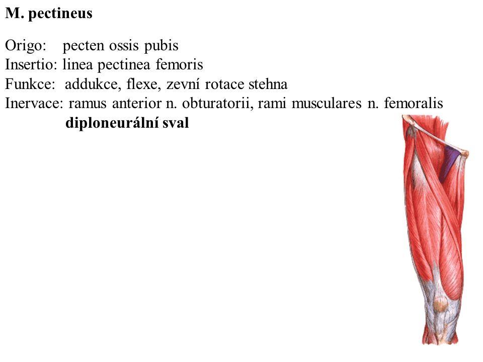 M. pectineus Origo: pecten ossis pubis. Insertio: linea pectinea femoris. Funkce: addukce, flexe, zevní rotace stehna.