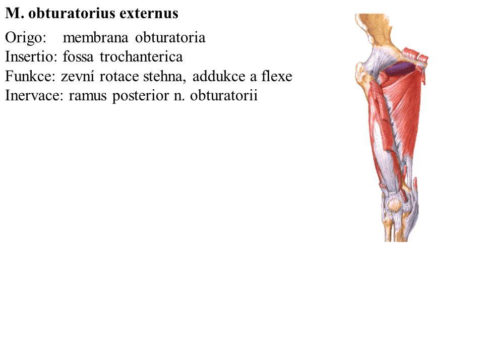 M. obturatorius externus