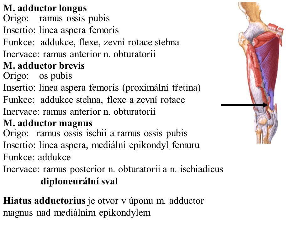 M. adductor longus Origo: ramus ossis pubis. Insertio: linea aspera femoris. Funkce: addukce, flexe, zevní rotace stehna.