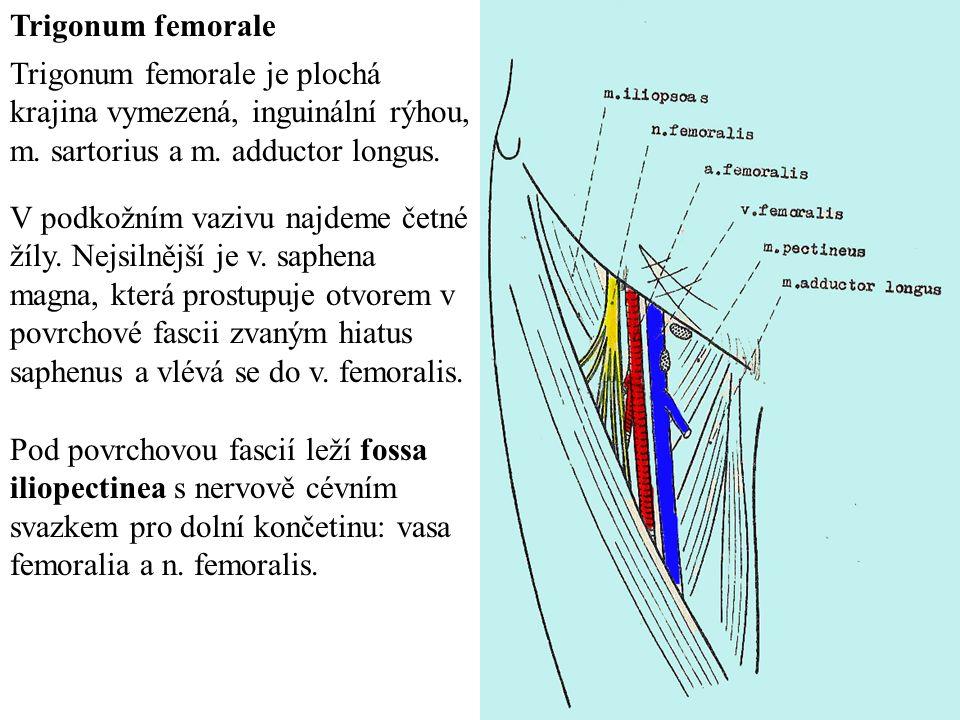 Trigonum femorale Trigonum femorale je plochá krajina vymezená, inguinální rýhou, m. sartorius a m. adductor longus.