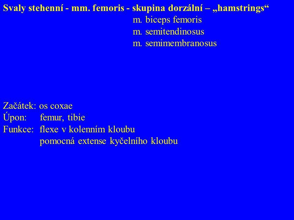 """Svaly stehenní - mm. femoris - skupina dorzální – """"hamstrings"""