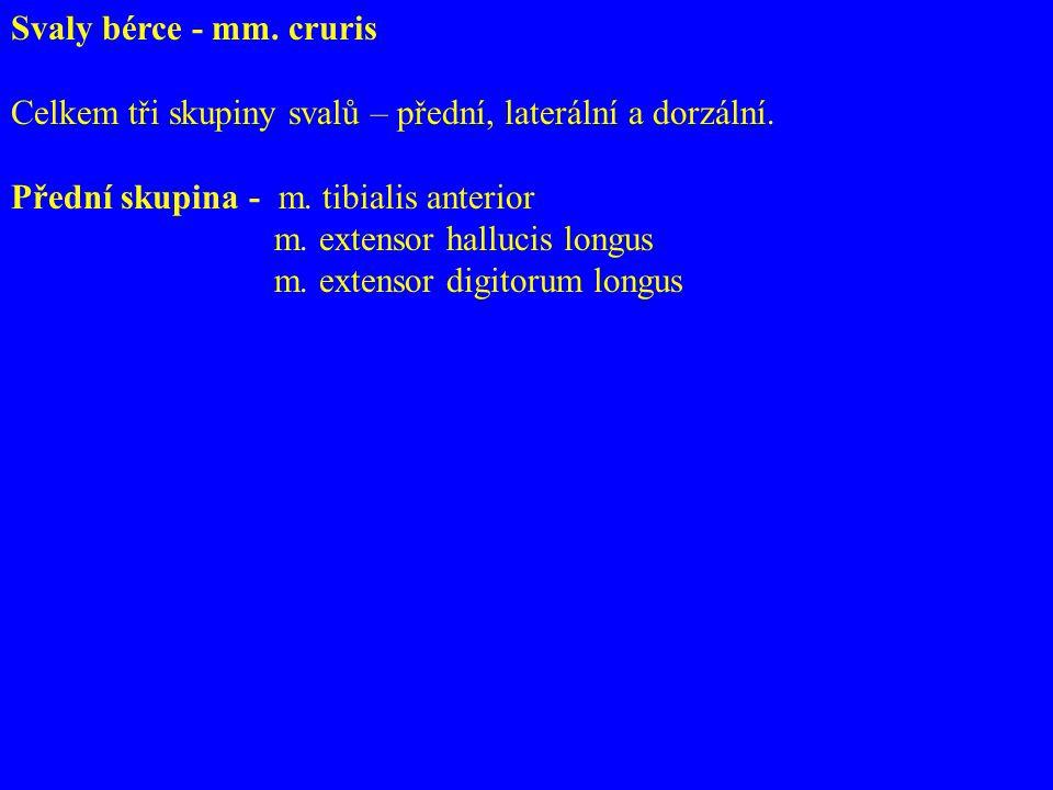 Svaly bérce - mm. cruris Celkem tři skupiny svalů – přední, laterální a dorzální. Přední skupina - m. tibialis anterior.