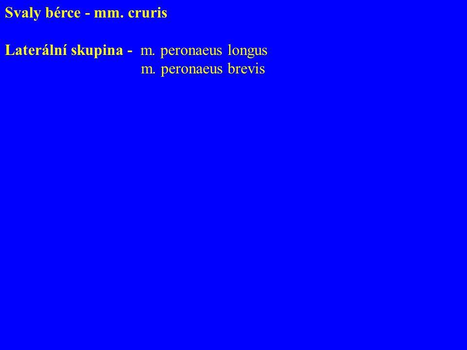 Svaly bérce - mm. cruris Laterální skupina - m. peronaeus longus m. peronaeus brevis