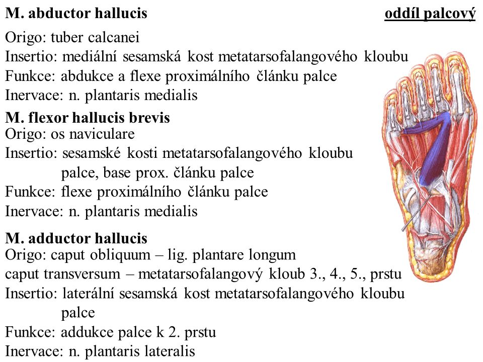 M. abductor hallucis oddíl palcový. Origo: tuber calcanei. Insertio: mediální sesamská kost metatarsofalangového kloubu.