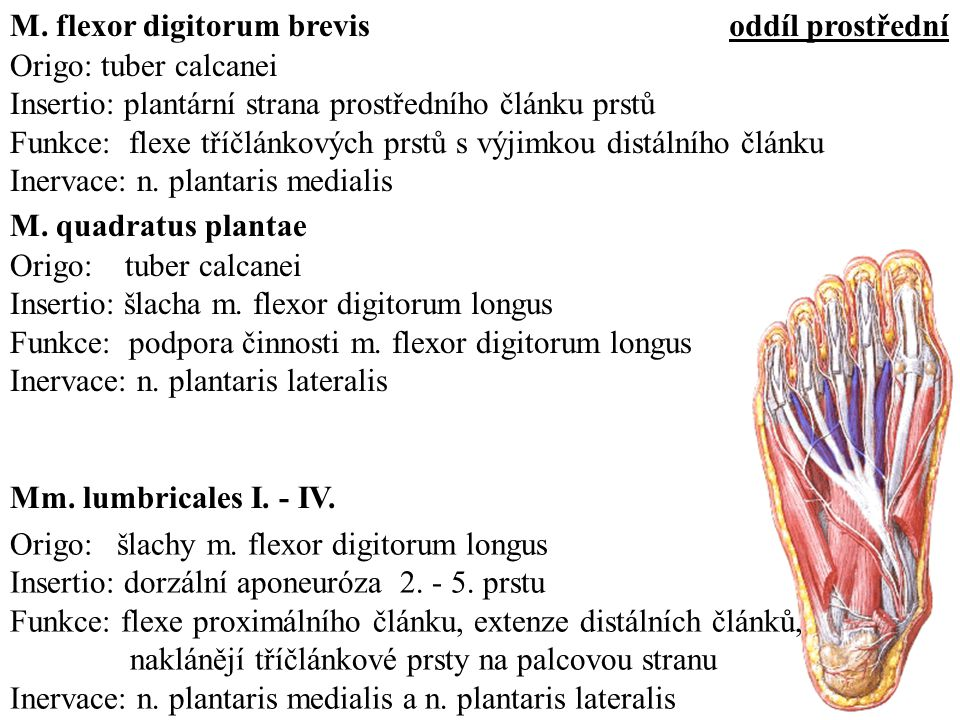 M. flexor digitorum brevis