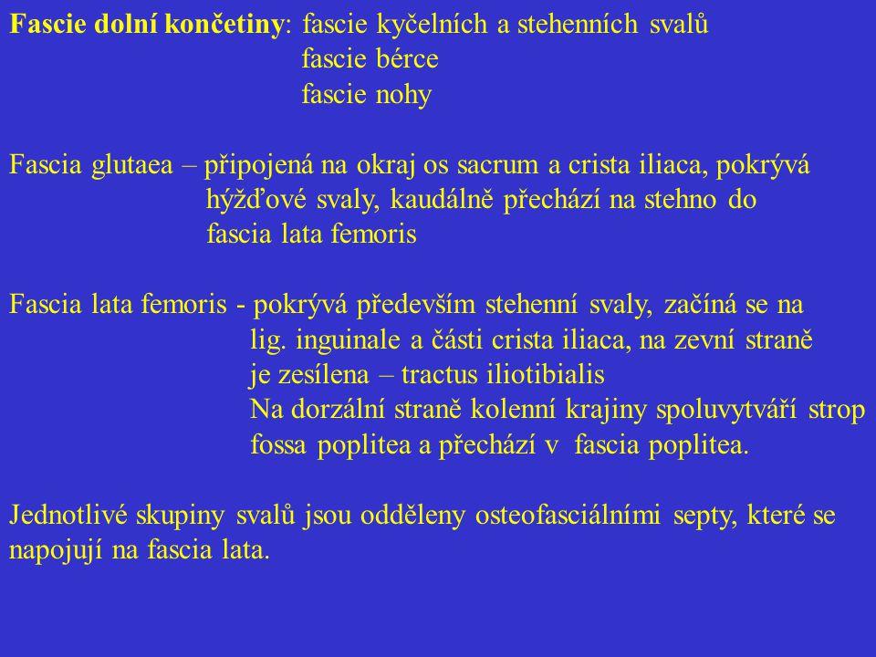 Fascie dolní končetiny: fascie kyčelních a stehenních svalů