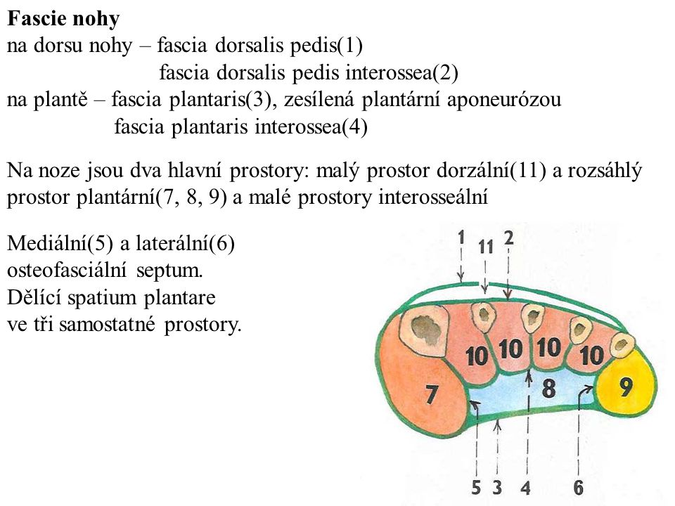 Fascie nohy na dorsu nohy – fascia dorsalis pedis(1) fascia dorsalis pedis interossea(2)