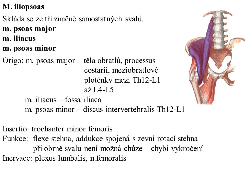 M. iliopsoas Skládá se ze tří značně samostatných svalů. m. psoas major. m. iliacus. m. psoas minor.