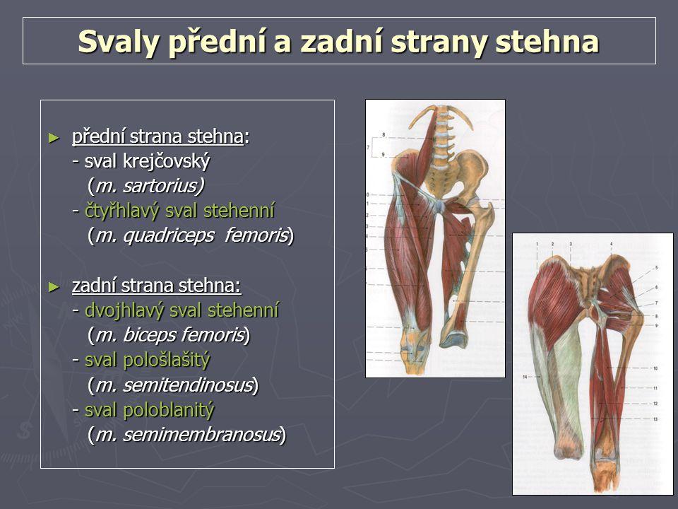 Svaly přední a zadní strany stehna