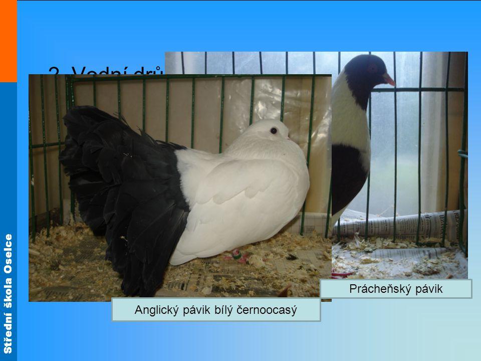 Anglický pávik bílý černoocasý