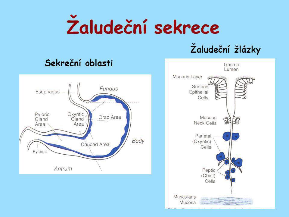 Žaludeční sekrece Žaludeční žlázky Sekreční oblasti