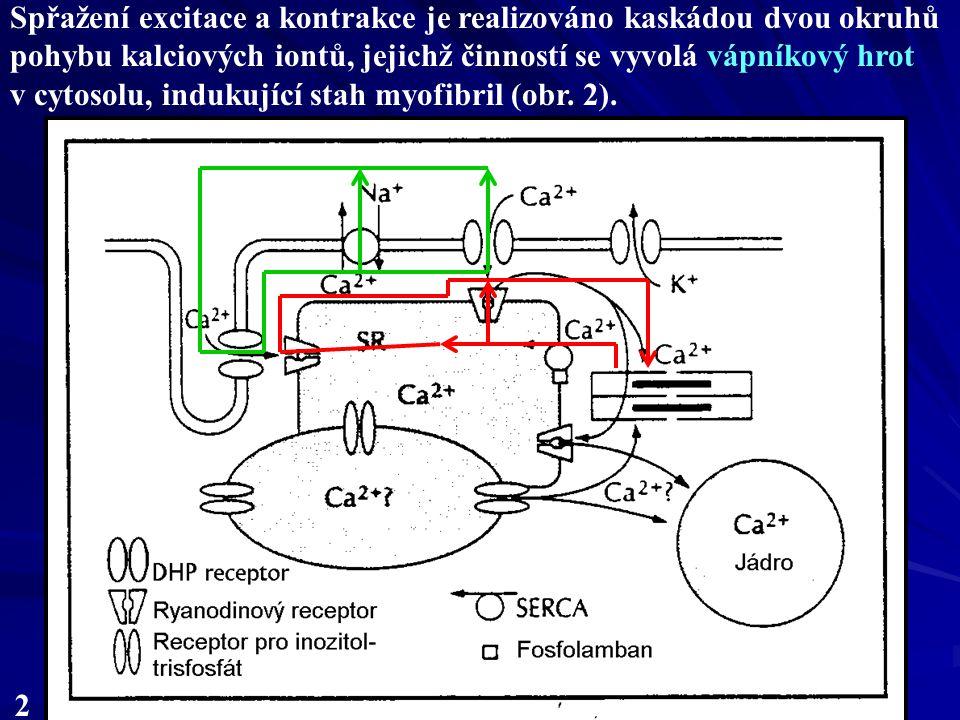 Spřažení excitace a kontrakce je realizováno kaskádou dvou okruhů pohybu kalciových iontů, jejichž činností se vyvolá vápníkový hrot v cytosolu, indukující stah myofibril (obr. 2).