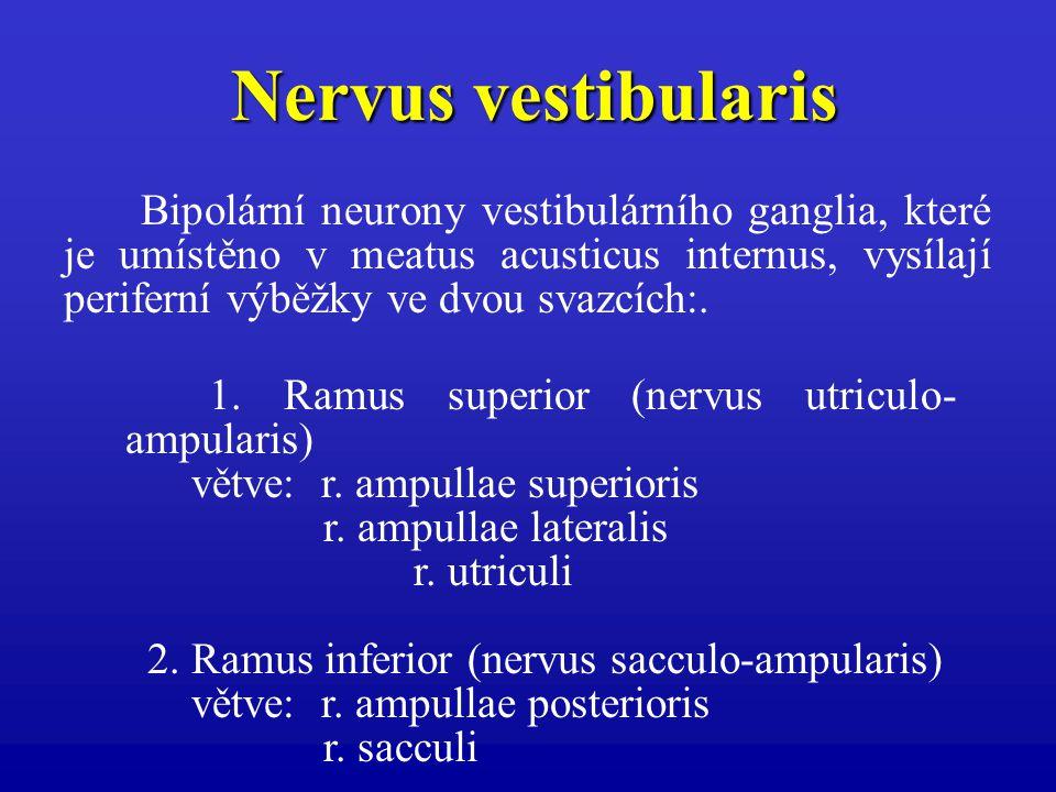 Nervus vestibularis