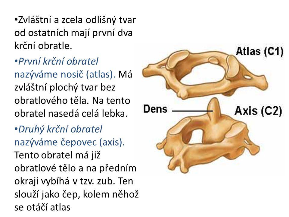 Zvláštní a zcela odlišný tvar od ostatních mají první dva krční obratle.