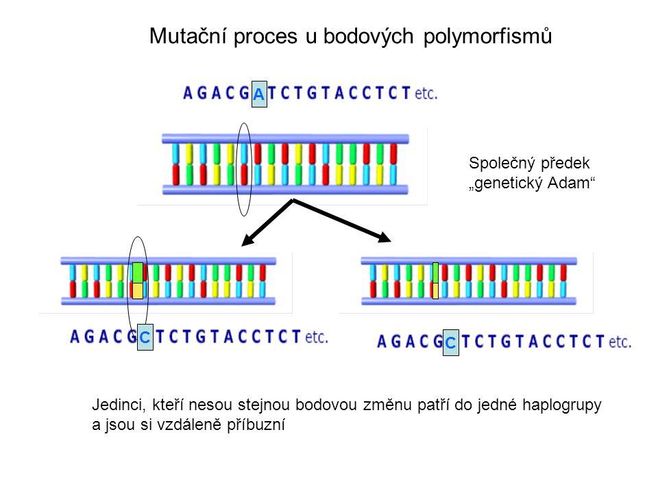Mutační proces u bodových polymorfismů