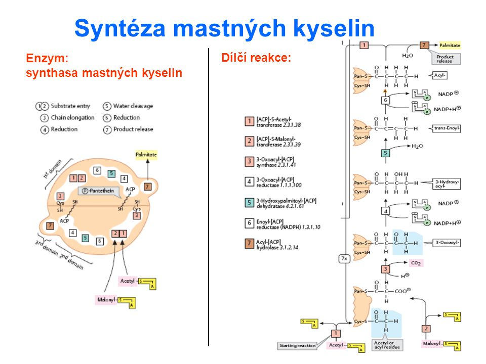 Syntéza mastných kyselin