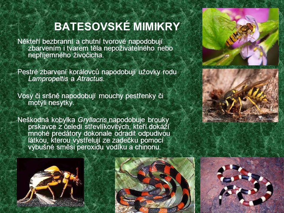 BATESOVSKÉ MIMIKRY Někteří bezbranní a chutní tvorové napodobují zbarvením i tvarem těla nepoživatelného nebo nepříjemného živočicha.