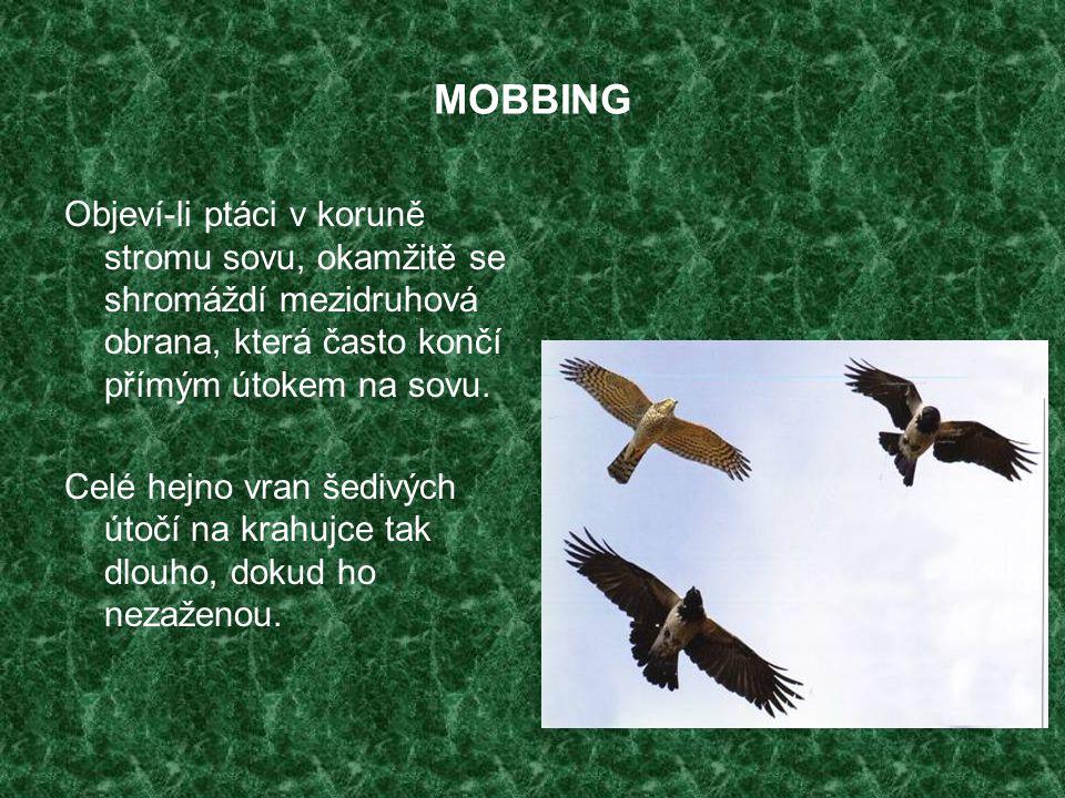 MOBBING Objeví-li ptáci v koruně stromu sovu, okamžitě se shromáždí mezidruhová obrana, která často končí přímým útokem na sovu.