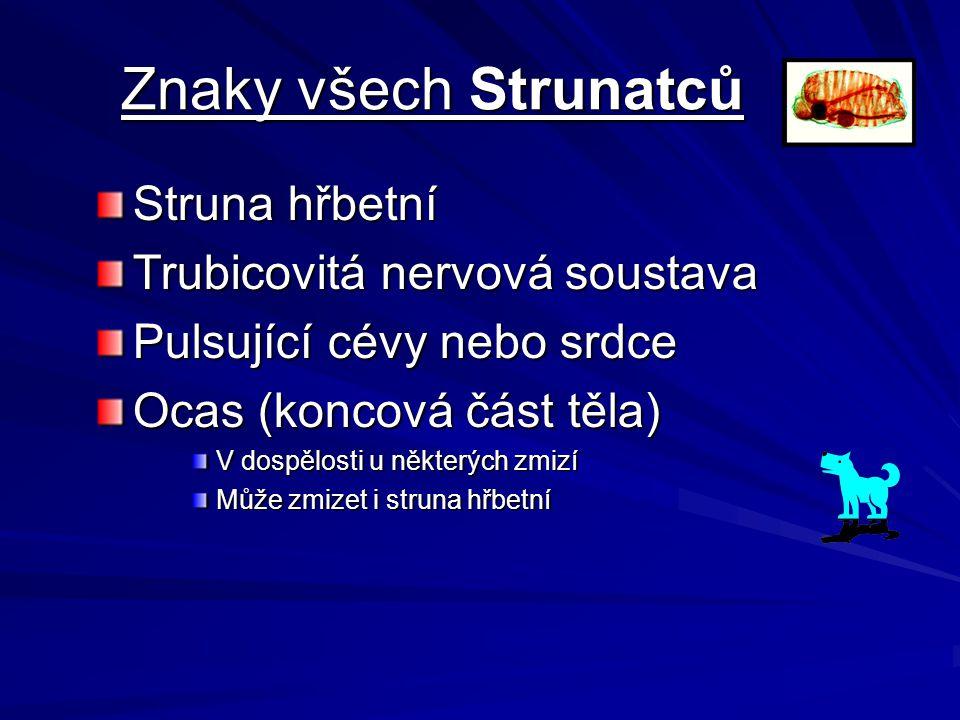 Znaky všech Strunatců Struna hřbetní Trubicovitá nervová soustava